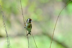 stock photo of goldfinches  - European goldfinch  - JPG