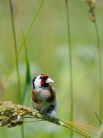 picture of goldfinches  - European goldfinch  - JPG