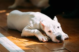 image of boar  - The Dogo Argentino also known as the Argentine Mastiff is a large - JPG