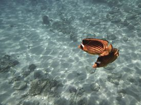 picture of butterfly fish  - Two fishes - JPG