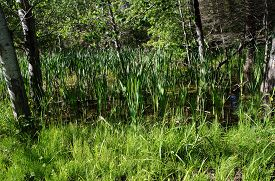 stock photo of cattail  - Cattails and trees growing in a swamp in Harbor Springs - JPG