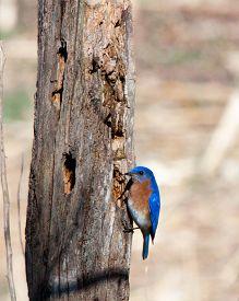 stock photo of bluebird  - Eastern Bluebird in winter feeding from dead tree - JPG