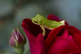 image of cute frog  - This is an cute little Alabama green tree frog - JPG