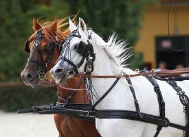 pic of carriage horse  - Group of purebred horses towing a carriage - JPG