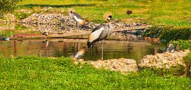 picture of shadoof  - Grey Crowned Crane near a pond in a park - JPG