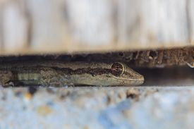 picture of hemidactylus  - close up House small lizard in nook - JPG