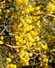 foto of mimosa  - branch of mimosa plant with round fluffy yellow flowers  - JPG