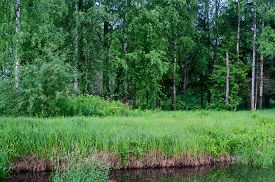 stock photo of birchwood  - Summer birchwood - JPG