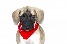 stock photo of puppy eyes  - Cute dog isolated is an adorable big eared puppy looking ahead with great big puppy dog eyes - JPG