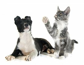 stock photo of collier  - puppy border collier and maine coon kitten in front of white background - JPG