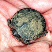 stock photo of winnebago  - Baby Painted Turtle  - JPG