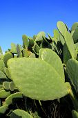 stock photo of nopal  - chumbera nopal cactus plant blue sky mediterranean plants - JPG