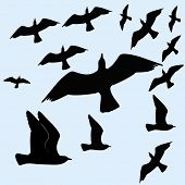foto of caw  - birds flocking - JPG