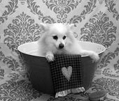 Постер, плакат: Dog Bath A happy Pomeranian dog ready to take a bath in the tub He is wearing a shower cap and has