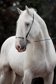 picture of shire horse  -  Portrait of gray horse  - JPG