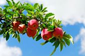 stock photo of apple tree  - Red ripe apples on apple tree branch blue sky background - JPG