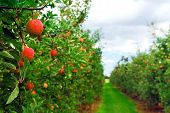 foto of apple orchard  - Apple orchard with red ripe apples on the trees - JPG