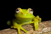 tree frog in Brazil tropical amazon rain forest beautiful night animal and endangered amphibian gree