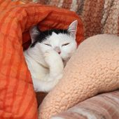 Cat Licking Hair On The Paw In Pillows. White And Black Cat Narrowing Its Eyes And Cleaning A Paw On poster