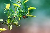 Ladybug On Green Leaf And Green Background poster
