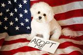 Bichon Frise Dog. American flag background. ADOPT ME Sign. Sign is editable and replaceable with you poster