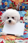 Bichon Frise Dog. Hawaiian print background. Room for text.   poster