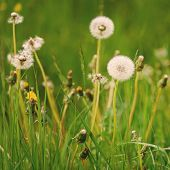 Lovely Dandelion In The Green Grass. Spring & Summer Concept. Close-up Photo Of Ripe Dandelion. Whit poster