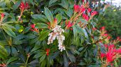 Pieris Japonica Forest Flame Branch With White Bell-shaped Flowers And Brightly Colored Young Leaves poster