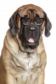 stock photo of english-mastiff  - English Mastiff dog wearing reading glasses - JPG