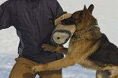 pic of infraction law  - German Shepherd trained detention humans  - JPG