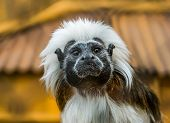Funny Closeup Of The Face Of A Cotton Top Tamarin, Tropical Critically Endangered Monkey From Colomb poster