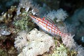 image of hawkfish  - Longnose hawkfish  taken in de Red Sea - JPG