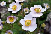pic of windflowers  - Pink autumn anemone flowers in rock garden  - JPG