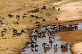picture of wildebeest  - Blue Wildebeest  - JPG