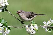 stock photo of mockingbird  - Northern Mockingbird  - JPG