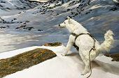 Постер, плакат: Мелвильский островной волк