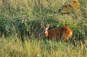 image of roebuck  - young wild roebuck  - JPG
