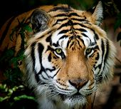 picture of white-tiger  - siberian tiger taken at big cat rescue - JPG
