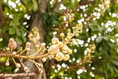 image of cannon-ball  - Image of Cannon ball tree flower during day - JPG