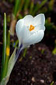 Постер, плакат: The White Crocus Crocus Sativus Flowering