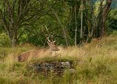 image of cervus elaphus  - Majestic European Red deer  - JPG