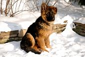 stock photo of fluffy puppy  - Cute fluffy German Shepherd puppy 5 months old sitting on the snow - JPG