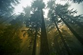picture of fog  - California State Coast Redwood  - JPG