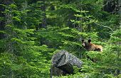 pic of bear  - Black Bear in Forest  - JPG