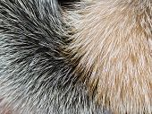 picture of arctic fox  - image Arctic fox fur closeup as background - JPG