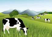 picture of dairy cattle  - Animal background with group of cows - JPG