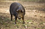 Iberian pig in the Valle de los Pedroches Cordoba Spain