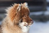 stock photo of herding dog  - Beautiful Nenets reindeer herding Husky portrait outdoors - JPG