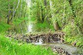 stock photo of beaver  - Beaver dam on The Lucni potok  - JPG