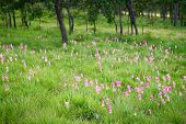 pic of curcuma  - some blooming of pink Curcuma alismatifolia field - JPG